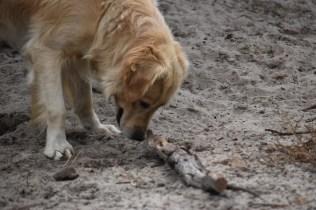 Oscar-Golden Retriever-Banksia Park Puppies - 21 of 41