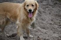 Oscar-Golden Retriever-Banksia Park Puppies - 24 of 41