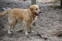 Oscar-Golden Retriever-Banksia Park Puppies - 25 of 41