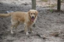 Oscar-Golden Retriever-Banksia Park Puppies - 26 of 41