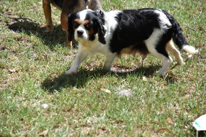 Petunia-Cavalier-Banksia Park Puppies - 1 of 34