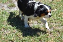 Petunia-Cavalier-Banksia Park Puppies - 14 of 34