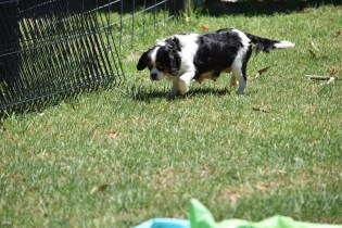 Petunia-Cavalier-Banksia Park Puppies - 16 of 34