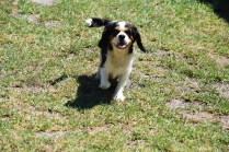 Petunia-Cavalier-Banksia Park Puppies - 26 of 34