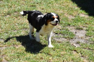 Petunia-Cavalier-Banksia Park Puppies - 28 of 34