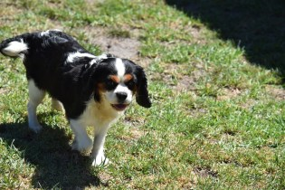 Petunia-Cavalier-Banksia Park Puppies - 30 of 34