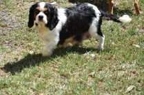 Petunia-Cavalier-Banksia Park Puppies - 4 of 34