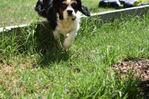 Petunia-Cavalier-Banksia Park Puppies - 8 of 34