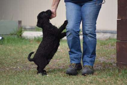 Mame-Poodle-Banksia Park Puppies - 13 of 45