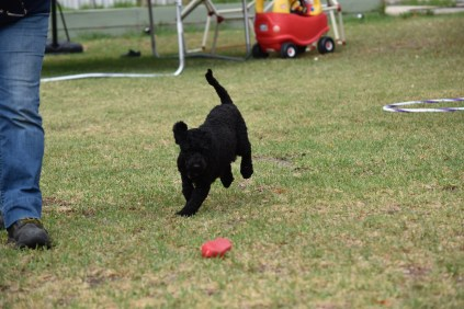 Mame-Poodle-Banksia Park Puppies - 21 of 45
