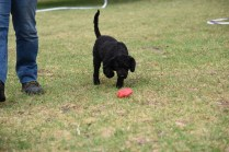 Mame-Poodle-Banksia Park Puppies - 23 of 45