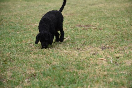Mame-Poodle-Banksia Park Puppies - 26 of 45