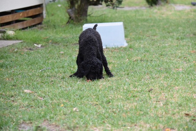 Mame-Poodle-Banksia Park Puppies - 28 of 45