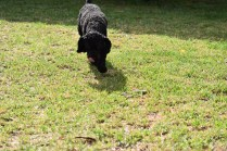 Mame-Poodle-Banksia Park Puppies - 37 of 45