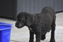 Mame-Poodle-Banksia Park Puppies - 40 of 45
