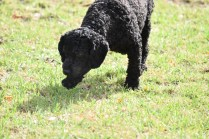 Mame-Poodle-Banksia Park Puppies - 41 of 45