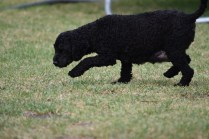 Mame-Poodle-Banksia Park Puppies - 7 of 45