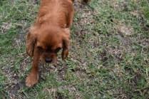 Nola-Cavalier-Banksia Park Puppies - 10 of 21