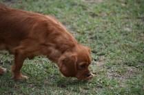 Pip-Cavalier-Banksia Park Puppies - 11 of 30