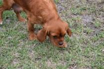 Pip-Cavalier-Banksia Park Puppies - 26 of 30