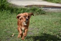 Vixen-Cavalier- Banksia Park Puppies - 2 of 44