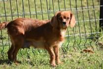Vixen-Cavalier- Banksia Park Puppies - 9 of 44
