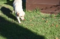 Comet-Labrador-Banksia Park Puppies - 12 of 43