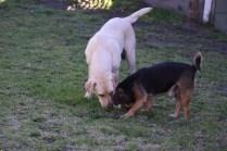Comet-Labrador-Banksia Park Puppies - 17 of 43