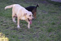 Comet-Labrador-Banksia Park Puppies - 20 of 43