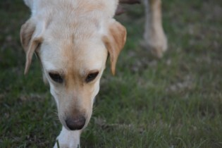 Comet-Labrador-Banksia Park Puppies - 39 of 43