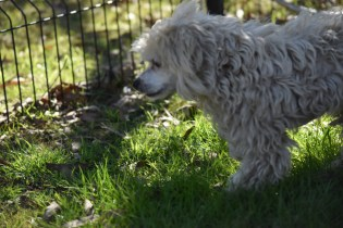 Marvin-Maltese-Banksia Park Puppies - 16 of 21