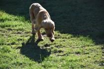 Zona-Cocker Spaniel-Banksia Park Puppies - 12 of 30
