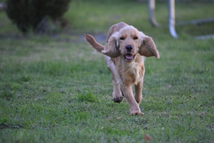 Zona-Cocker Spaniel-Banksia Park Puppies - 23 of 30