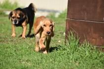 Zona-Cocker Spaniel-Banksia Park Puppies - 25 of 30