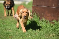Zona-Cocker Spaniel-Banksia Park Puppies - 27 of 30