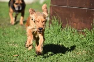 Zona-Cocker Spaniel-Banksia Park Puppies - 28 of 30
