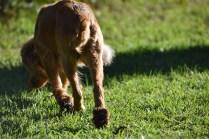 Zona-Cocker Spaniel-Banksia Park Puppies - 6 of 30