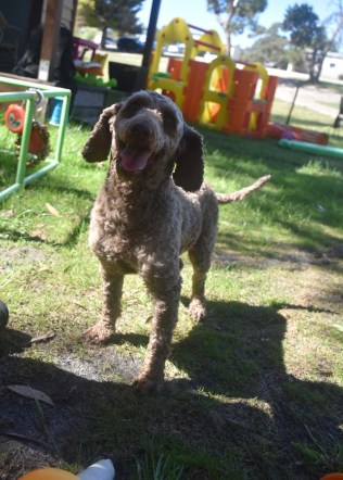 ALVIN - Bankisa park puppies - 1 of 16 (3)