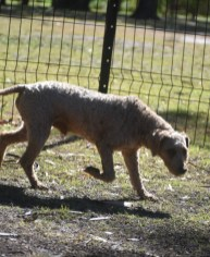 CHILLI - Bankisa park puppies - 1 of 20 (10)