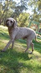 CHILLI - Bankisa park puppies - 1 of 20 (13)