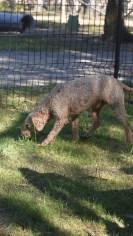 CHILLI - Bankisa park puppies - 1 of 20 (19)