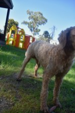 CHILLI - Bankisa park puppies - 1 of 20 (3)