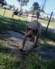 CHILLI - Bankisa park puppies - 1 of 20 (4)