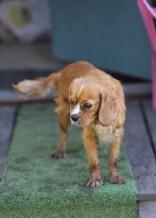 PEACHES - bankisa park puppies - 1 of 28 (6)