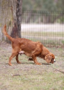 JOY - Bankisa park puppies - 1 of 35 (25)