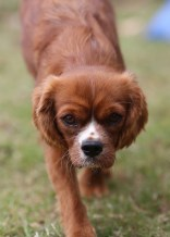 JOY - Bankisa park puppies - 1 of 35 (3)