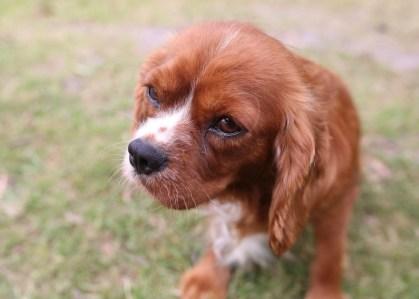 JOY - Bankisa park puppies - 1 of 35 (33)