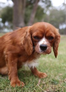 JOY - Bankisa park puppies - 1 of 35 (6)