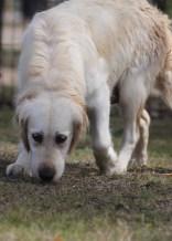 ODIE - Bankisa Park puppies - 1 of 57 (42)