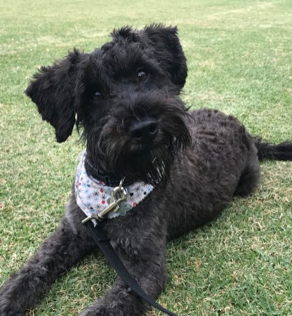 @monty.the.schnoodle 6 months old!